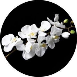 A crisp white orchid against a black background